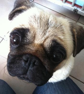 bonnie-the-pug